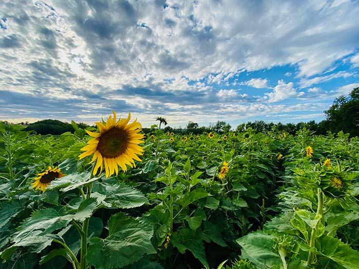 Heritage Conservation District - Sunflower