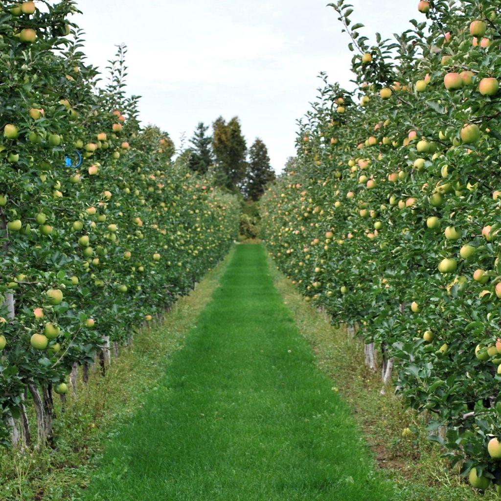 Apple Orchard - T&K Ferri