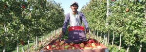 T&K Ferri Orchard Hero Apples
